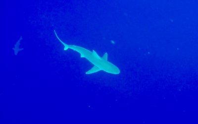 Save Jaws: Swimming with Sharks in Hawaii